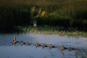 mother-duck-and-ducklings-swimming-george-f-herben