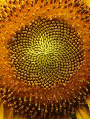 george-grall-close-up-of-a-sunflower-showing-the-spiraling-center-filled-with-seeds