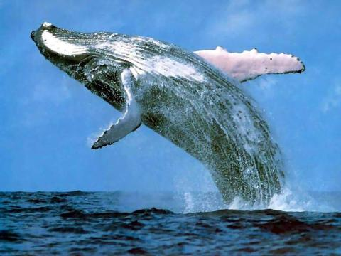 humpback_whale_margaret_river