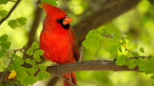 northern-cardinal-tree-branches