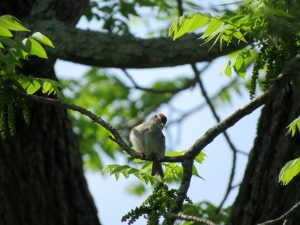 Chipping Sparrow tree
