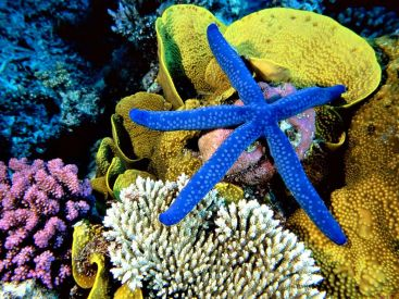 blue_starfish_wallpaper_-_1024x768